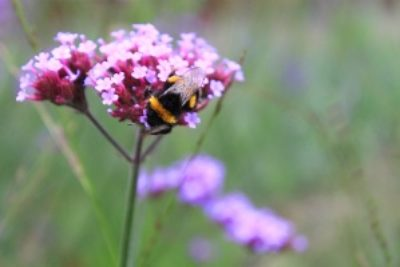 BEE-FRIENDLY GARDENS ARTICLE